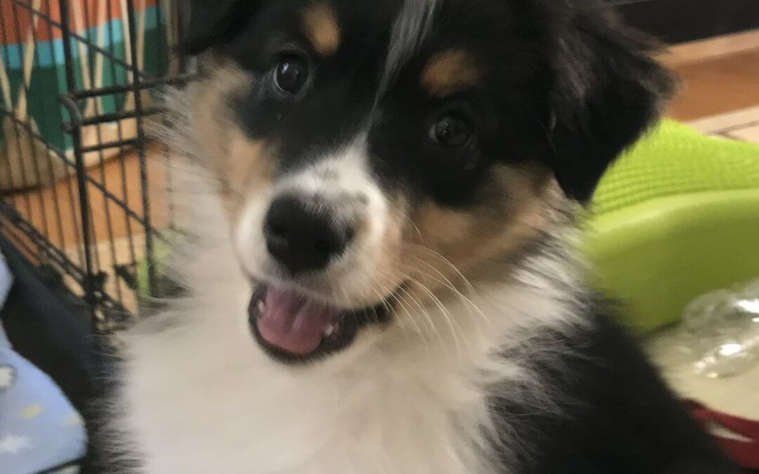 manners-for-mutts-australian-shepherd-Rumble